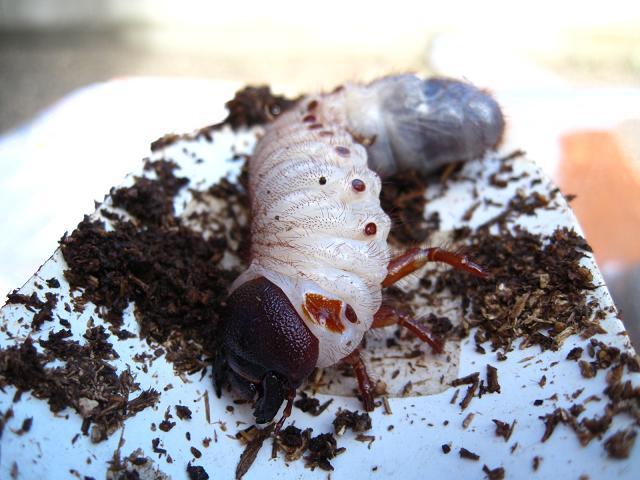 ヘラクレス幼虫1.jpg